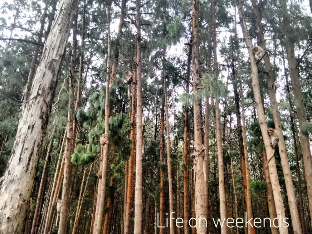 Pine forests of Kodai Kanal