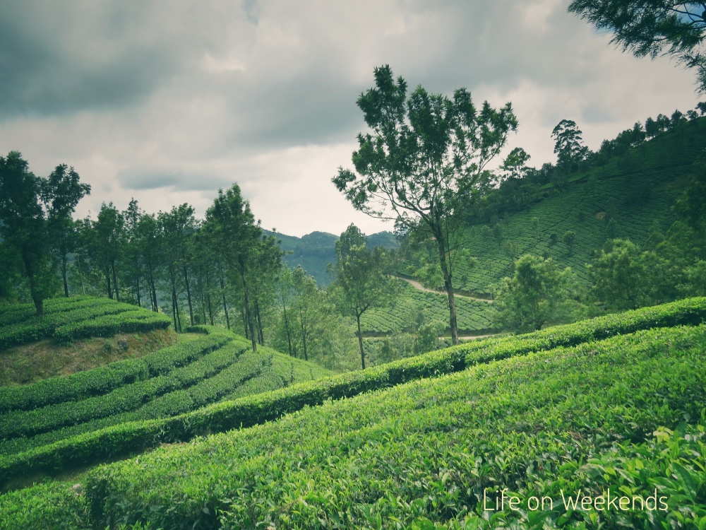 the green hills of Munnar