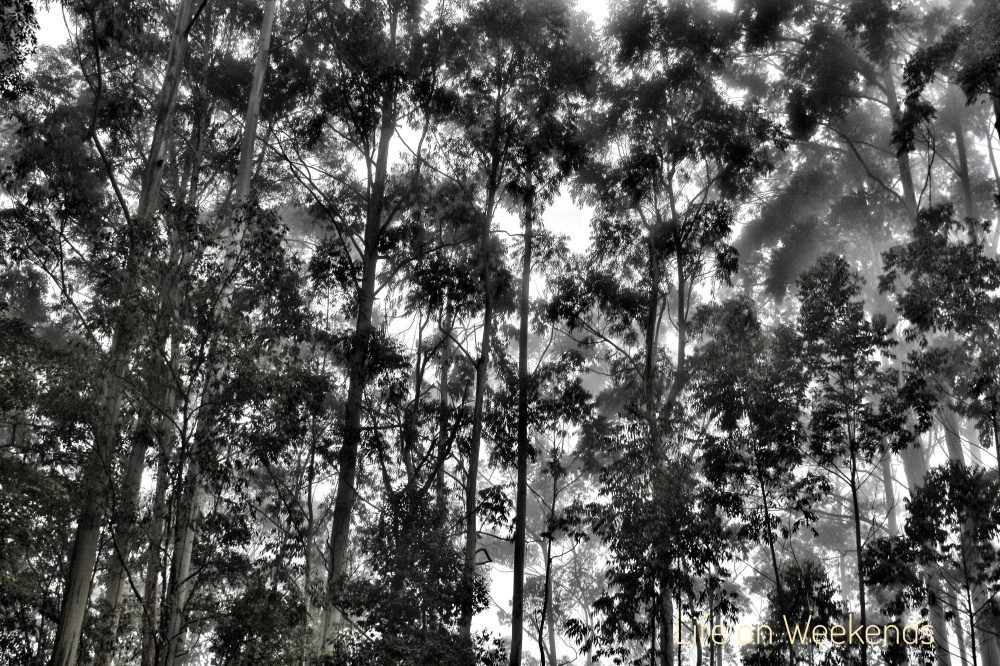 Forests of KodaiKanal