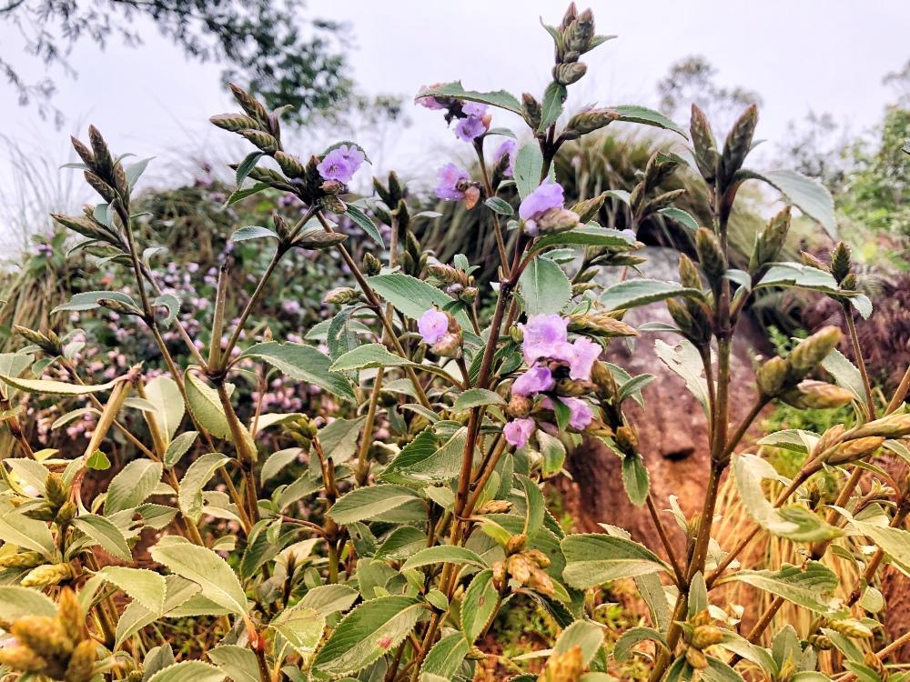 Neelakurinji, Munnar, Kerala