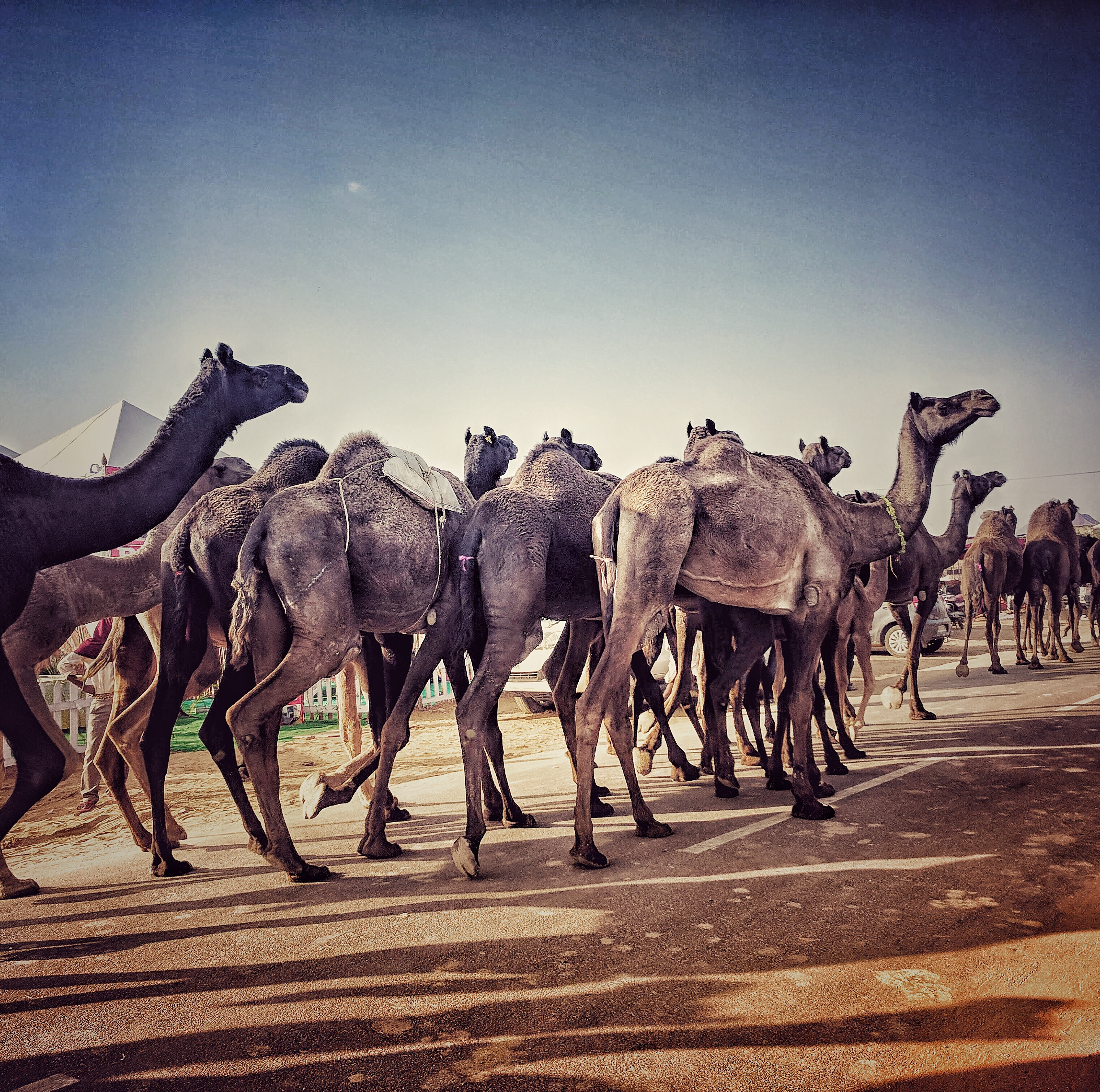 Pushkar Animal Fair, Rajasthan